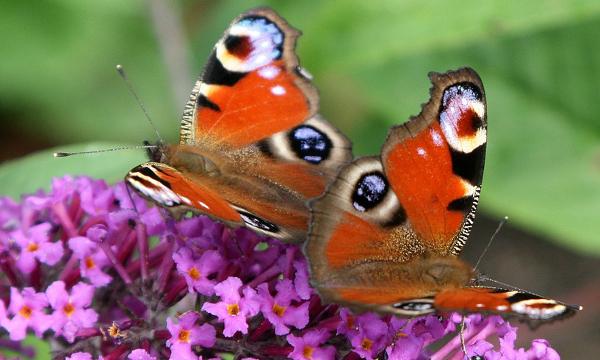tiltræk flere sommerfugle til haven