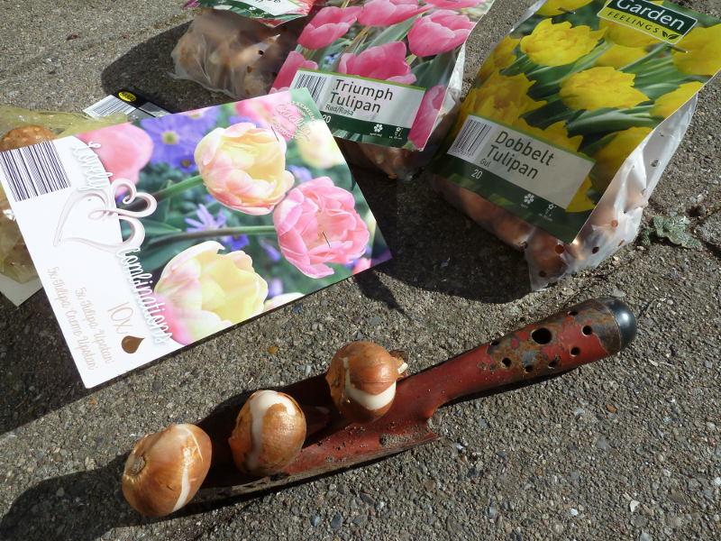 Tid til at lægge tulipanløg i gule og lyserøde nuancer