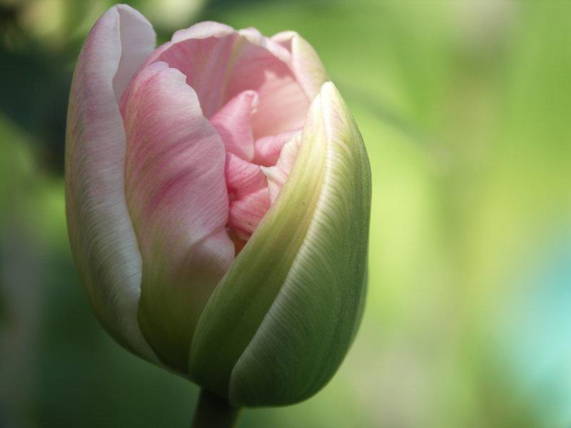 observere en tulipan folde sig ud