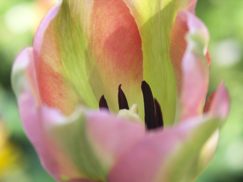 støvdrager på tulipan
