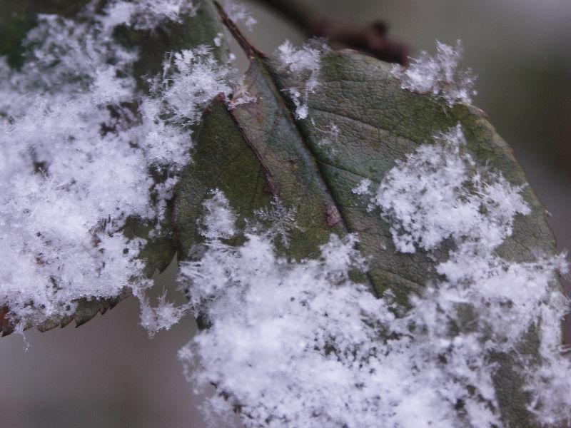close up af snekrystaller, de bliver helt magSnefnug på rosenblad, at iagttage og sanse naturen giver nærvær og det er mindfulness og haveterapi også om vinteren