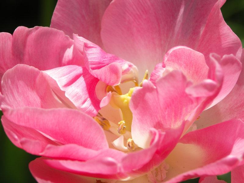 smukke tulipaner giver glæde